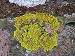 Maritime Sunburst Lichen (Xanthoria parietina)